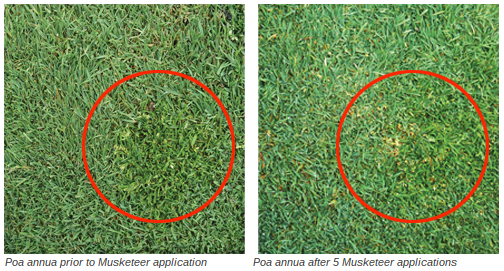 Close-up of a creeping bentgrass/ Poa annua  fairway.  Note the conversion of the  Poa annua  (left) as compared to bentgrass conversion following 5 applications of Musketeer at 36 fl oz/A every 3 weeks (right).