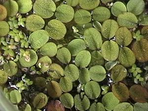 """Duckweed, """"Common Aquatic Weeds."""""""