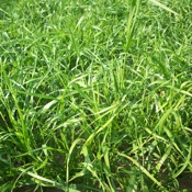 Annual Rye Grass was looked at in the study. covercrops.cals.cornell.edu