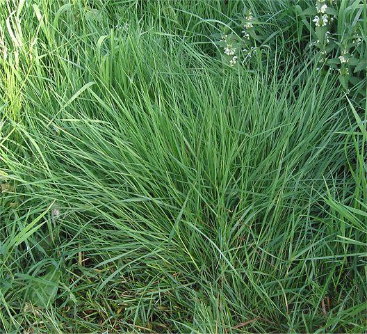 Bentgrass, Agrostis tenuis. By Rasbak - Own work, CC BY-SA 3.0, Wikimedia.org