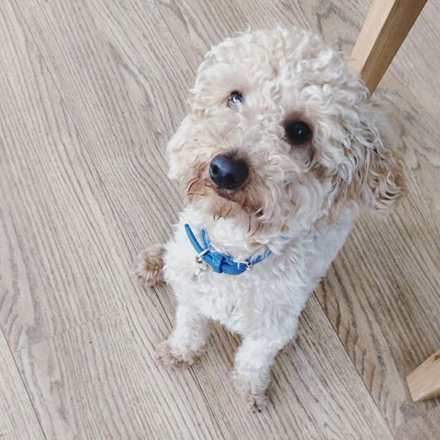 Why are you so cute? 😍🐶 #miniaturepoodle #poodlesofinstagram #puppiesofinsta #dailypuppy #dogstagram #Londondogs