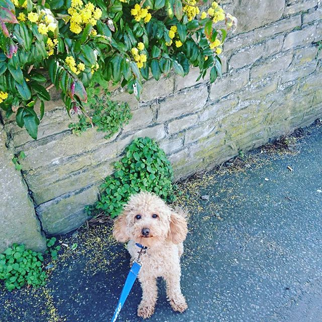 Happy Easter from a little Poodle!! 🐩 #poodlesofinstagram #happyeaster #goodfriday #yellowflowers #londonspringtime #Londondogs #poodley #curlytop