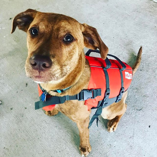 Bongo got a new life vest, now to teach him how to surf! #surf #dog #obx