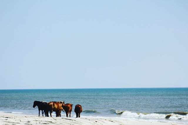 Day trip to Corolla to check out the horses #corolla #nc #obx #horses #home #beach