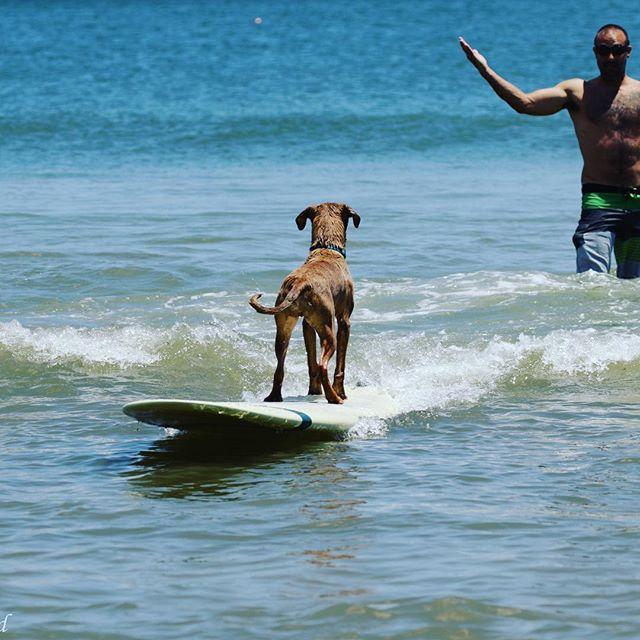 Guess he likes surfing backwards #bongo #surf #dog #surfdog #surfingdog #obx #nagshead