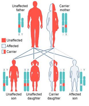 diagram of fragile x inheritance