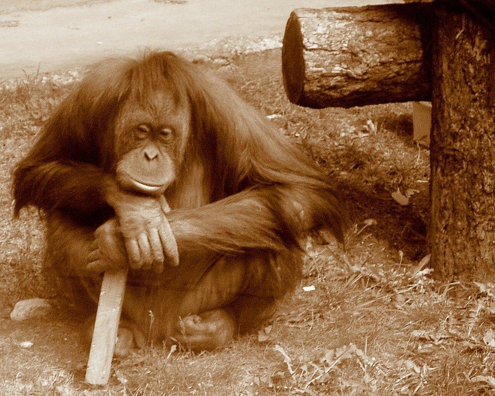 Orangutan_thinking.jpg