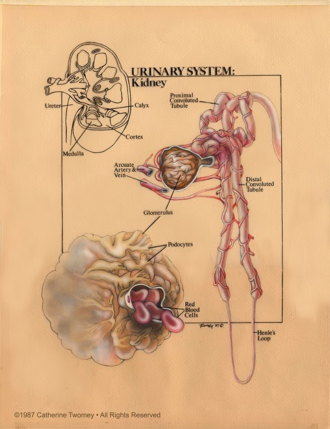 Twomey's Urinary System