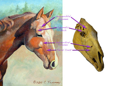 Two images, one of the oil painting and the other of the skull, comparing bony landmarks.