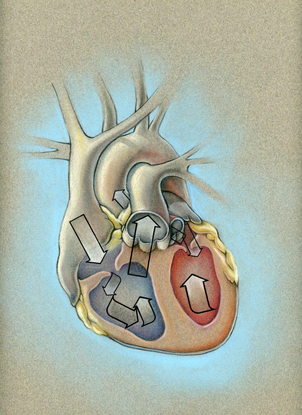 0011STUDENTcardiacbloodflow.jpg