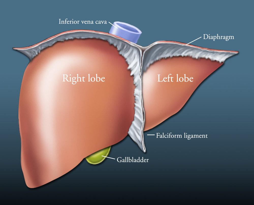 liverlobes1500.jpg