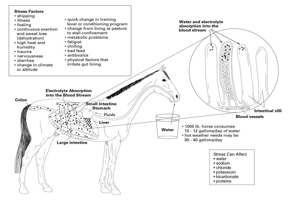 horseabsorptgitract1500.jpg
