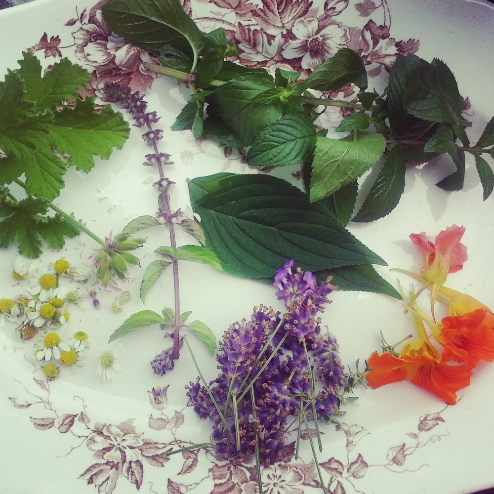 Herbs ready for summer sodas: rose geranium, pineapple sage, lavender, nasturtium, mojito mint, African blue basil
