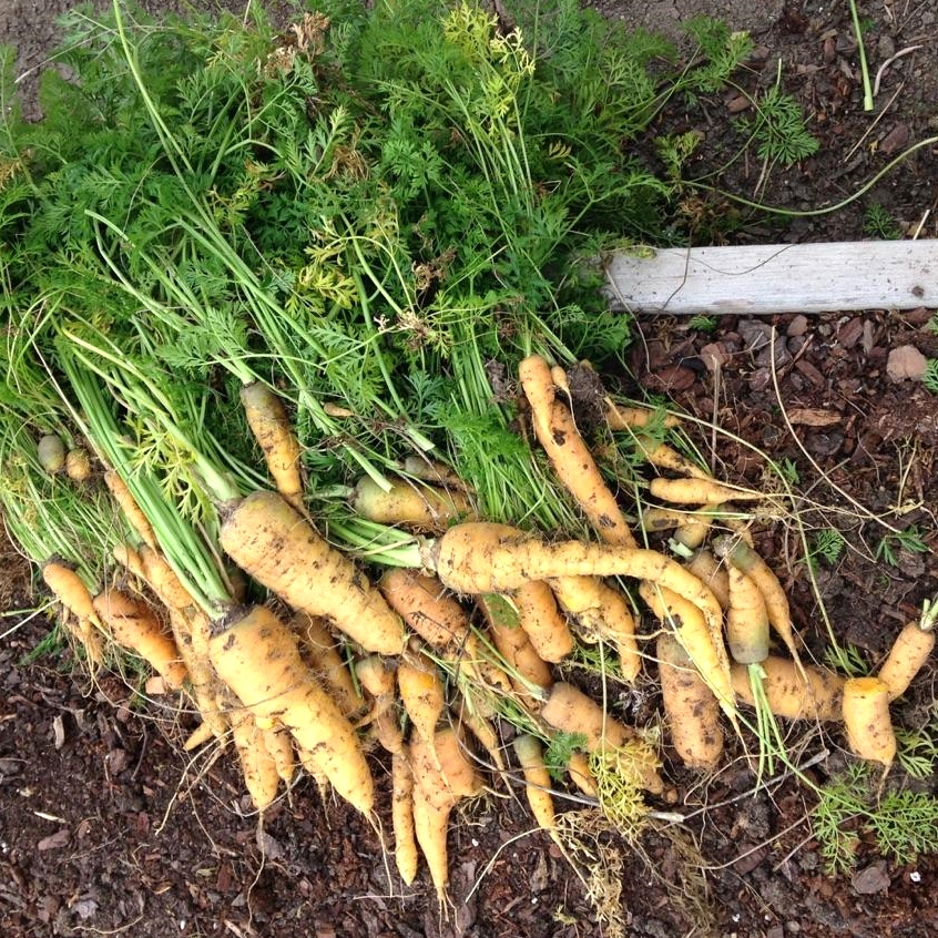 Just-picked golden carrots