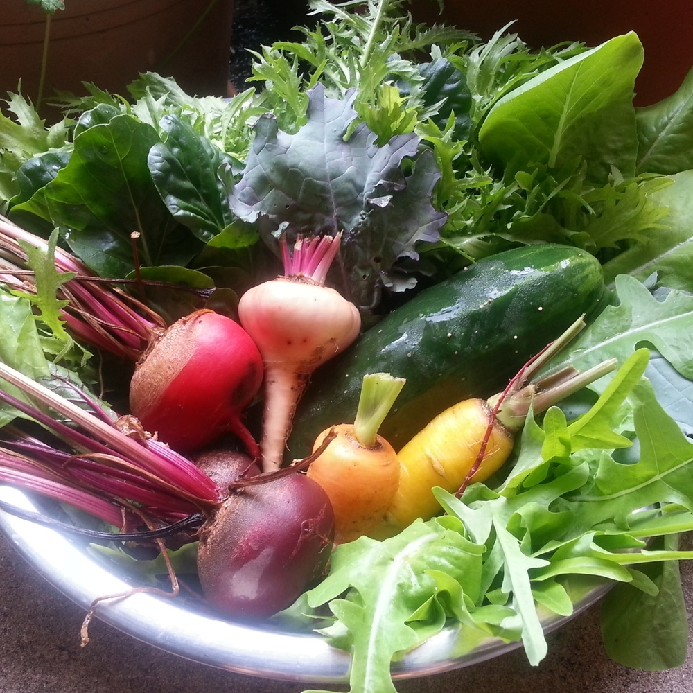 Summer harvest bowl: mizuna, arugula, kale, oak-leaved lettuce, beets, cucumber, carrots