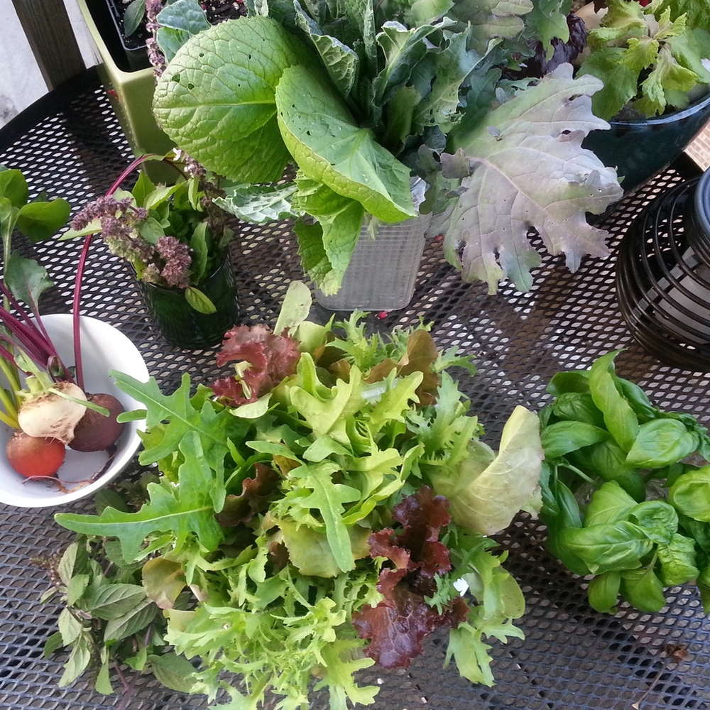 Porch garden harvest: lettuces, kale, beets, basil, mustard greens