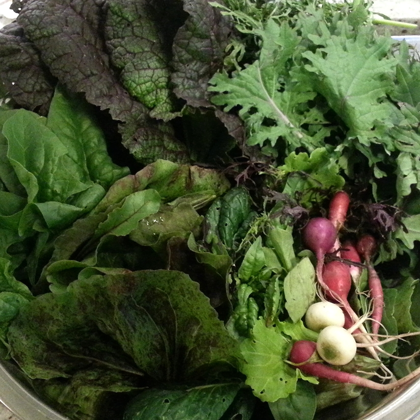 Spring greens, lettuce, and radish harvest