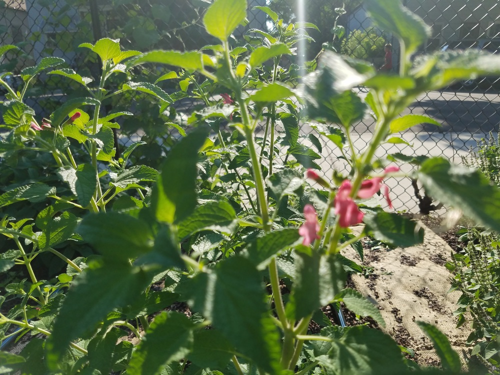 Wild Watermelon Sage