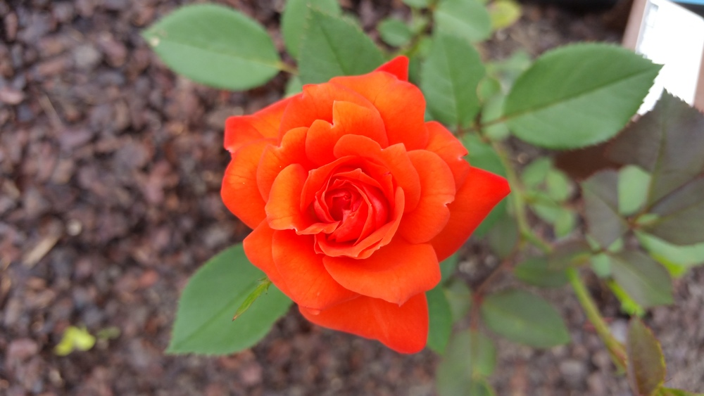 Minature Rose