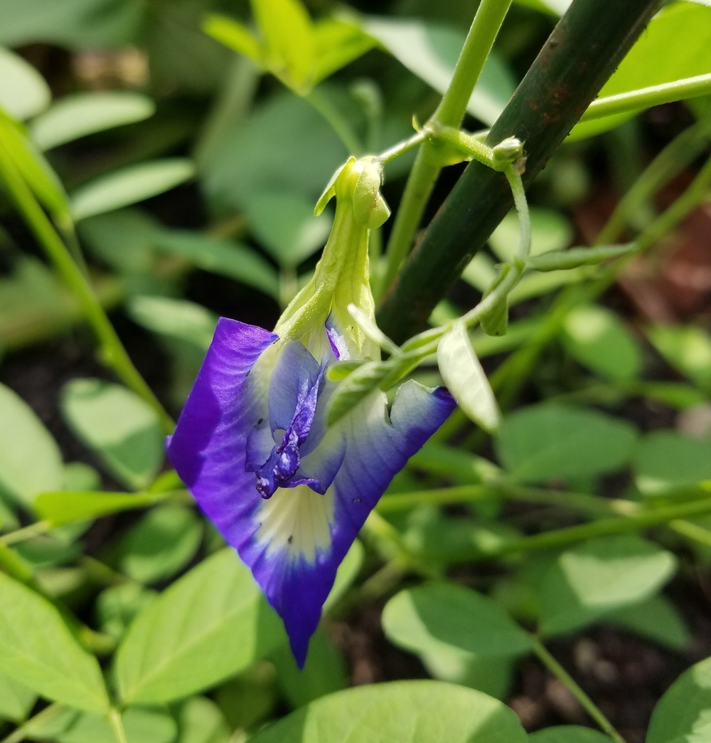 Clitoria (Blue Butterfly Pea Flower)