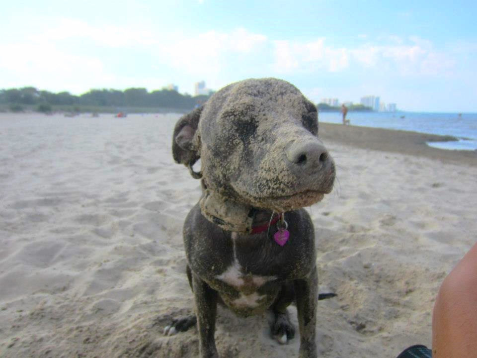 Pit Bull, Montrose Dog Beach, Off Leash, Chicago and Suburbs, Dog Training, Trainer, Obedience, Behavioral Problems