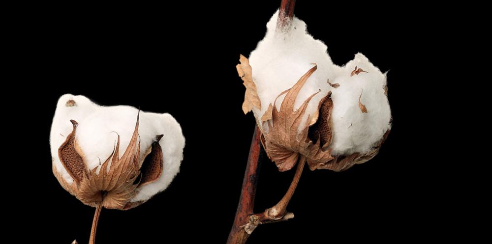 Hastens Cotton