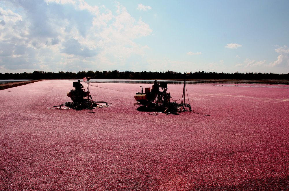 Cranberry_field_Whitesbog_Village.jpg
