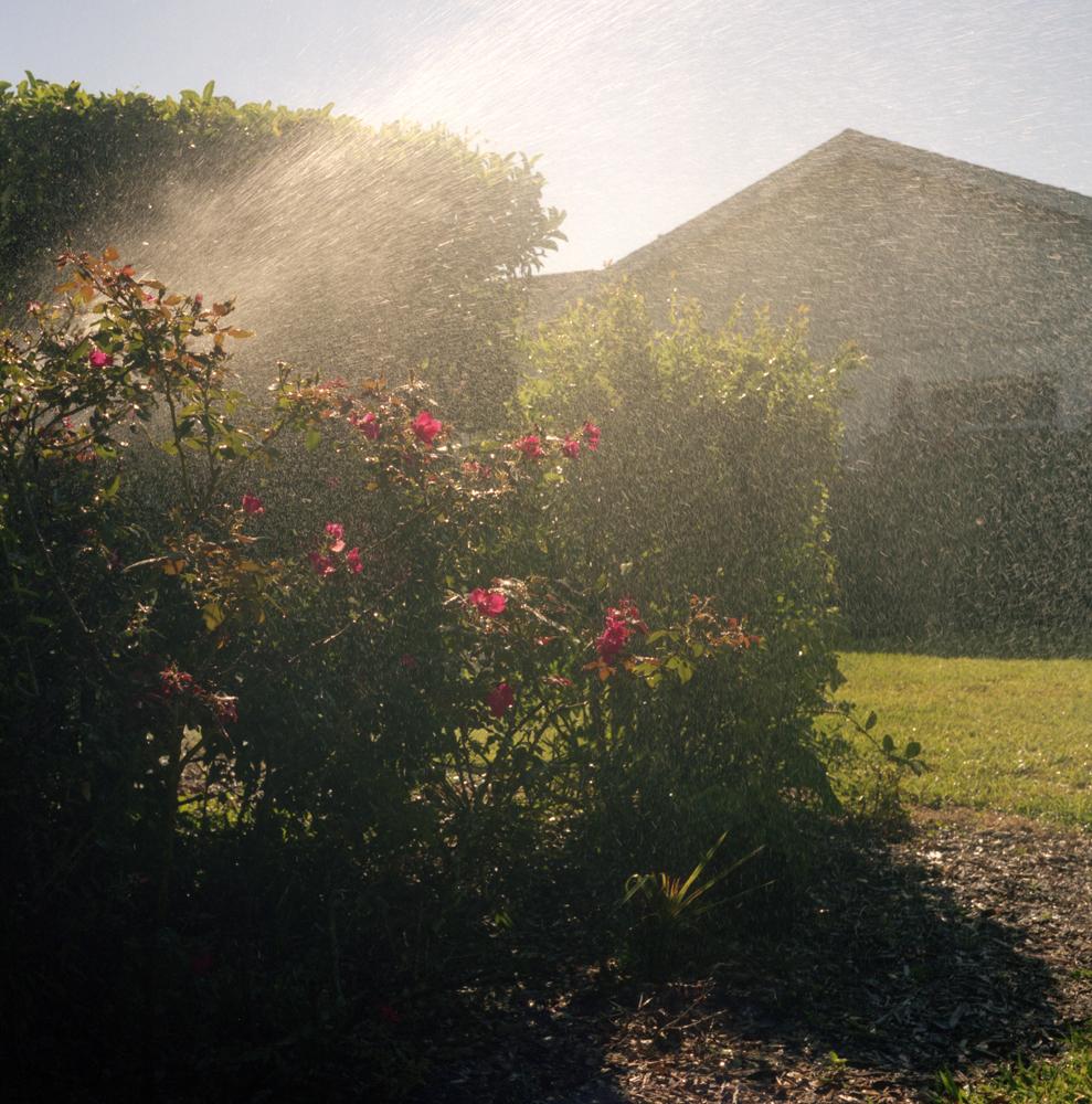 Rose Bush with Sprinkler.jpg