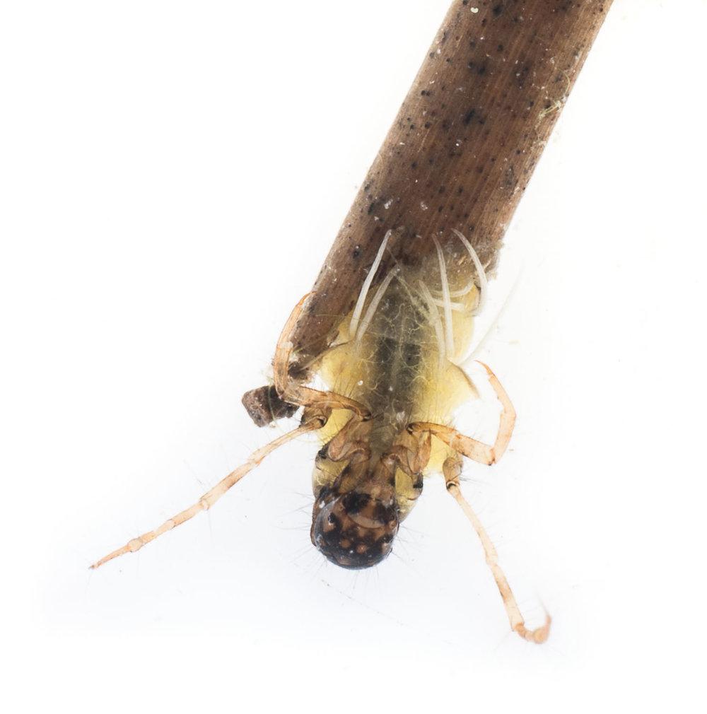 Leptoceridae (ventral view).jpg