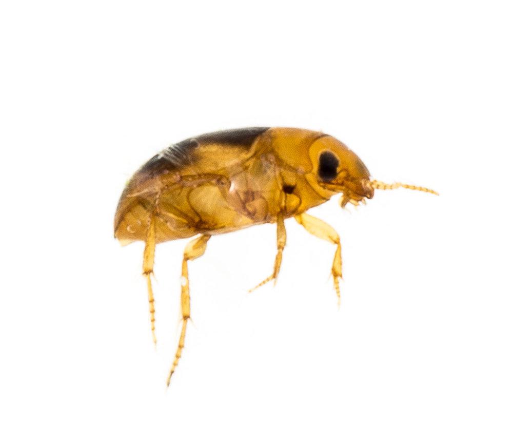 Dytiscidae.jpg