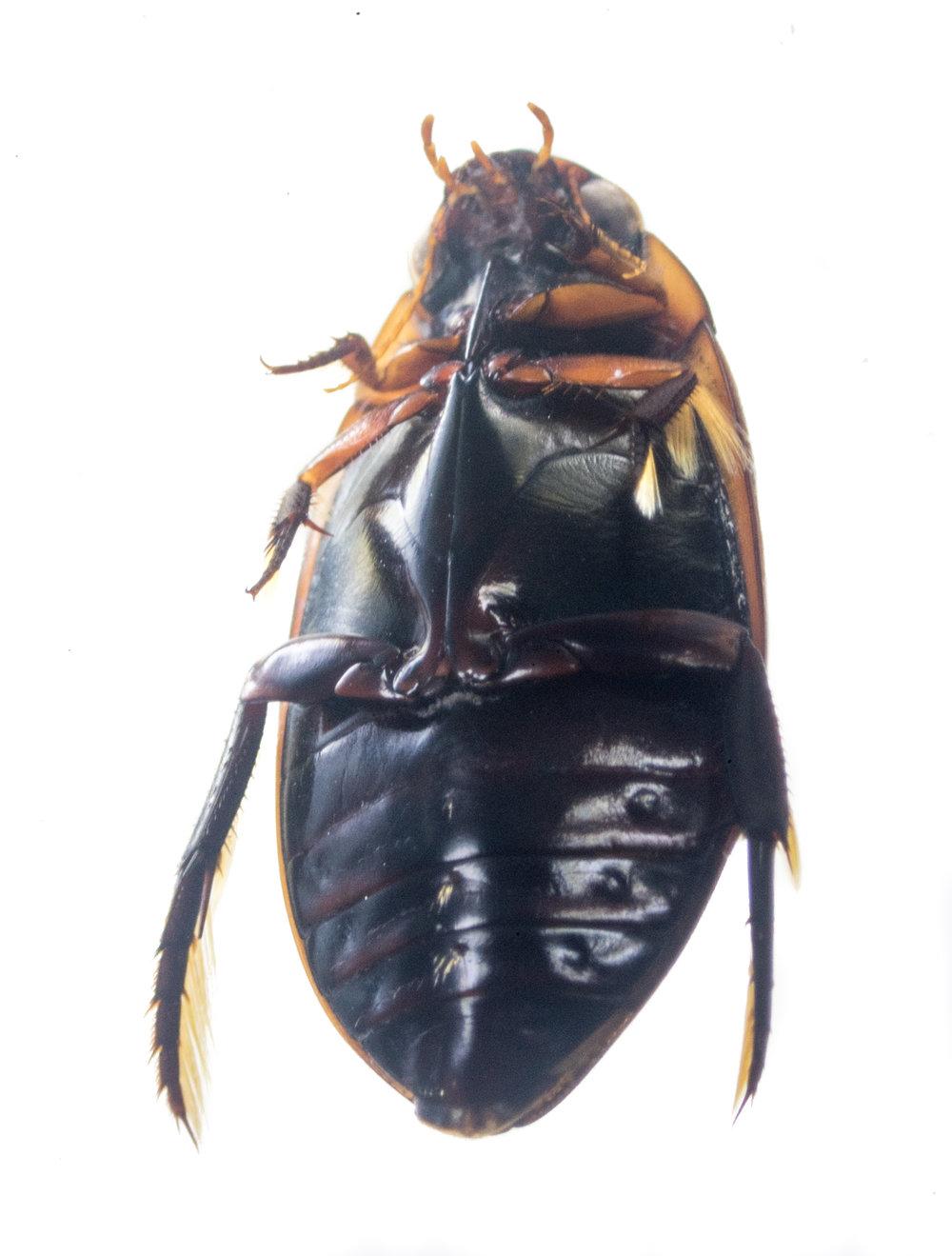 Dytiscidae Diving beetle.jpg