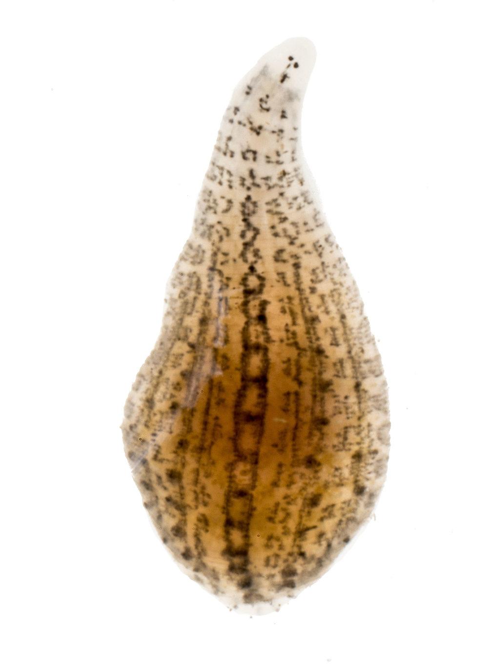Glossiphoniidae.jpg
