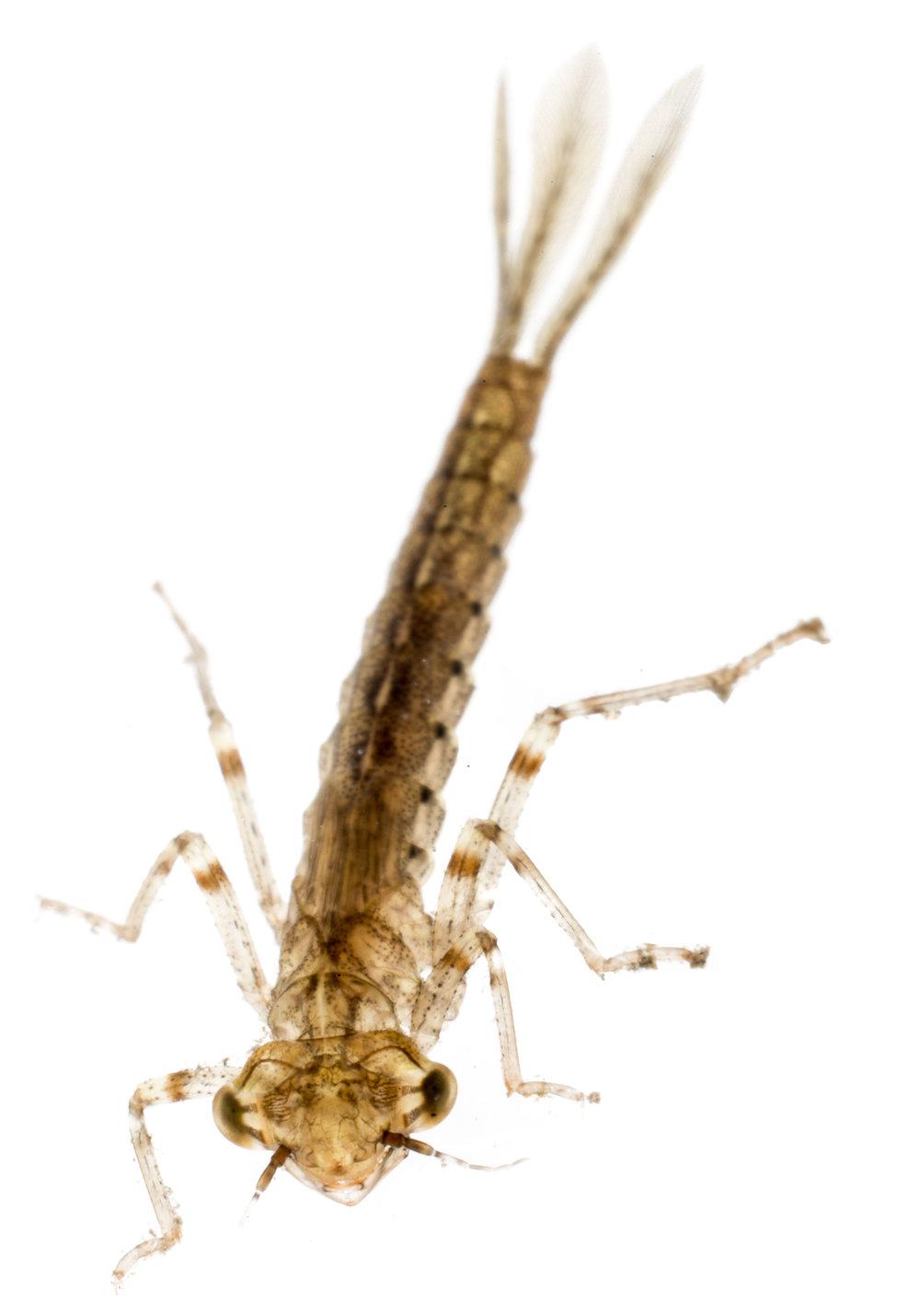 Brown Coenagrionidae.jpg