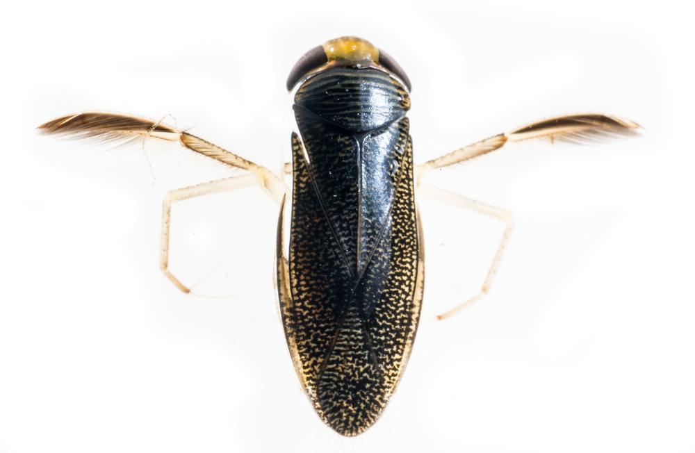 Corixidae.jpg