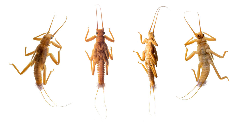 Gripopterigidae stonefly.jpg