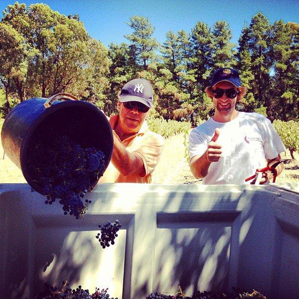 Winemakers Nigel & Tim handpicking the 2013 Mataro Vineyard in the Barossa Valley