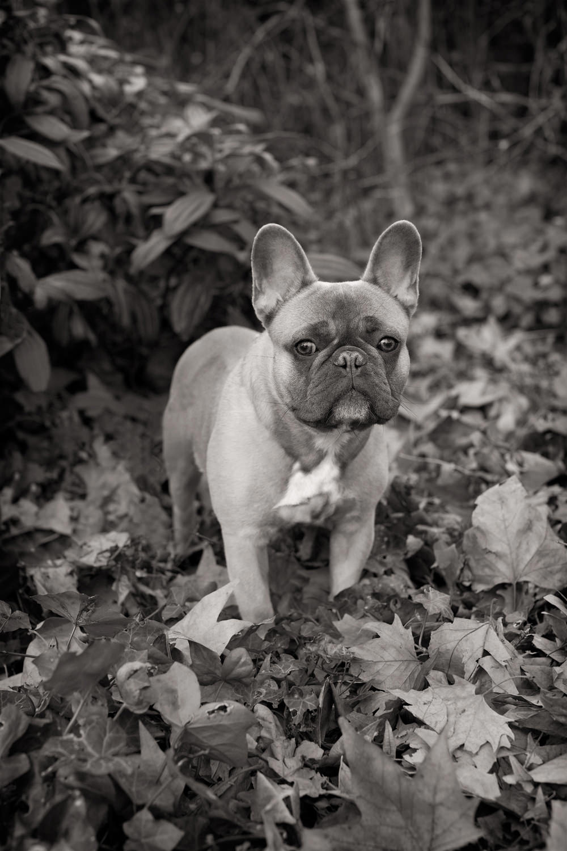 IKE  -  French Bulldog, Primrose Hill