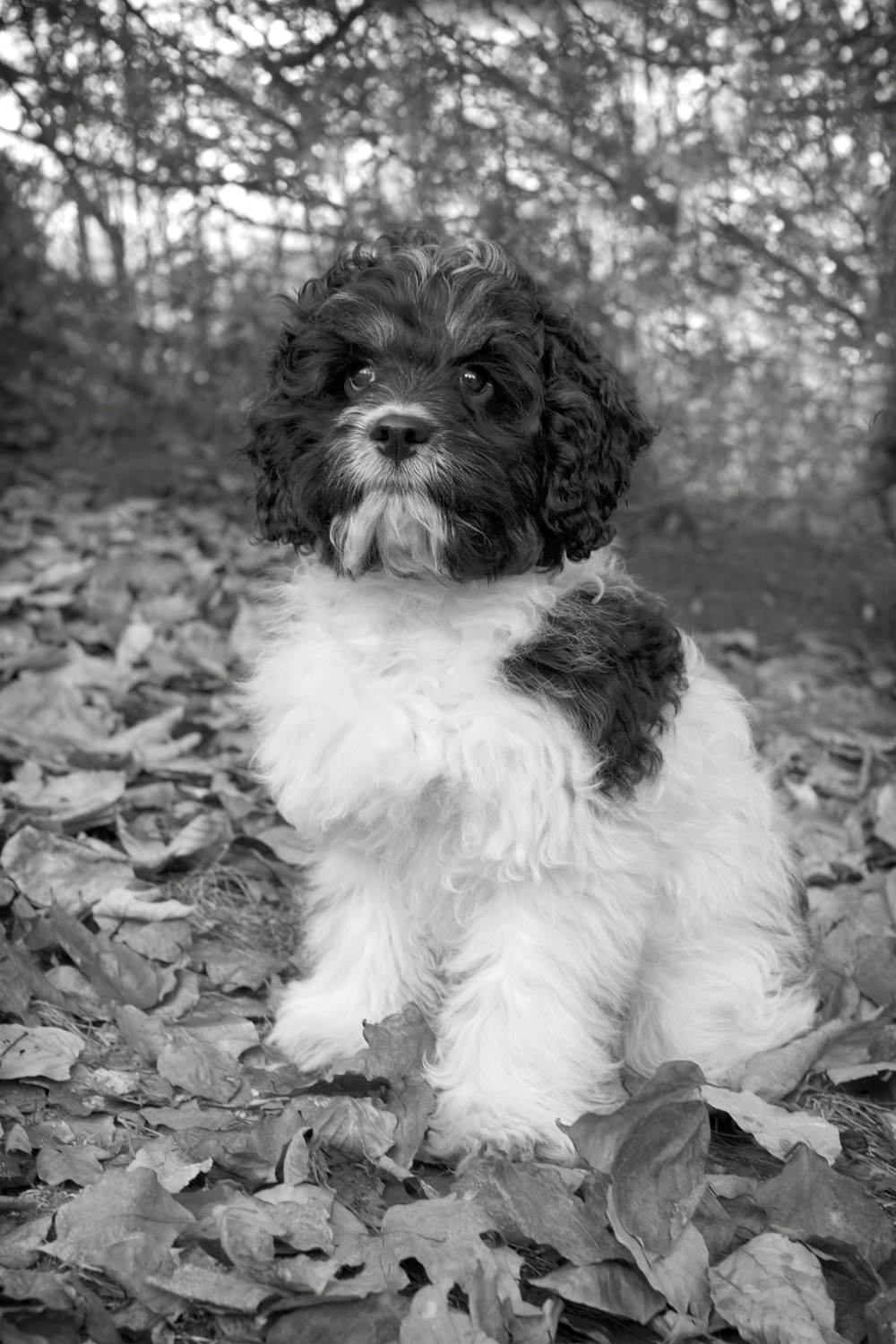 MOSS  -  Cockapoo, Westport CT