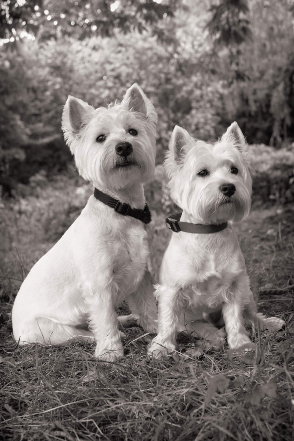 HECTOR & BONNIE  -  Westies, Marylebone