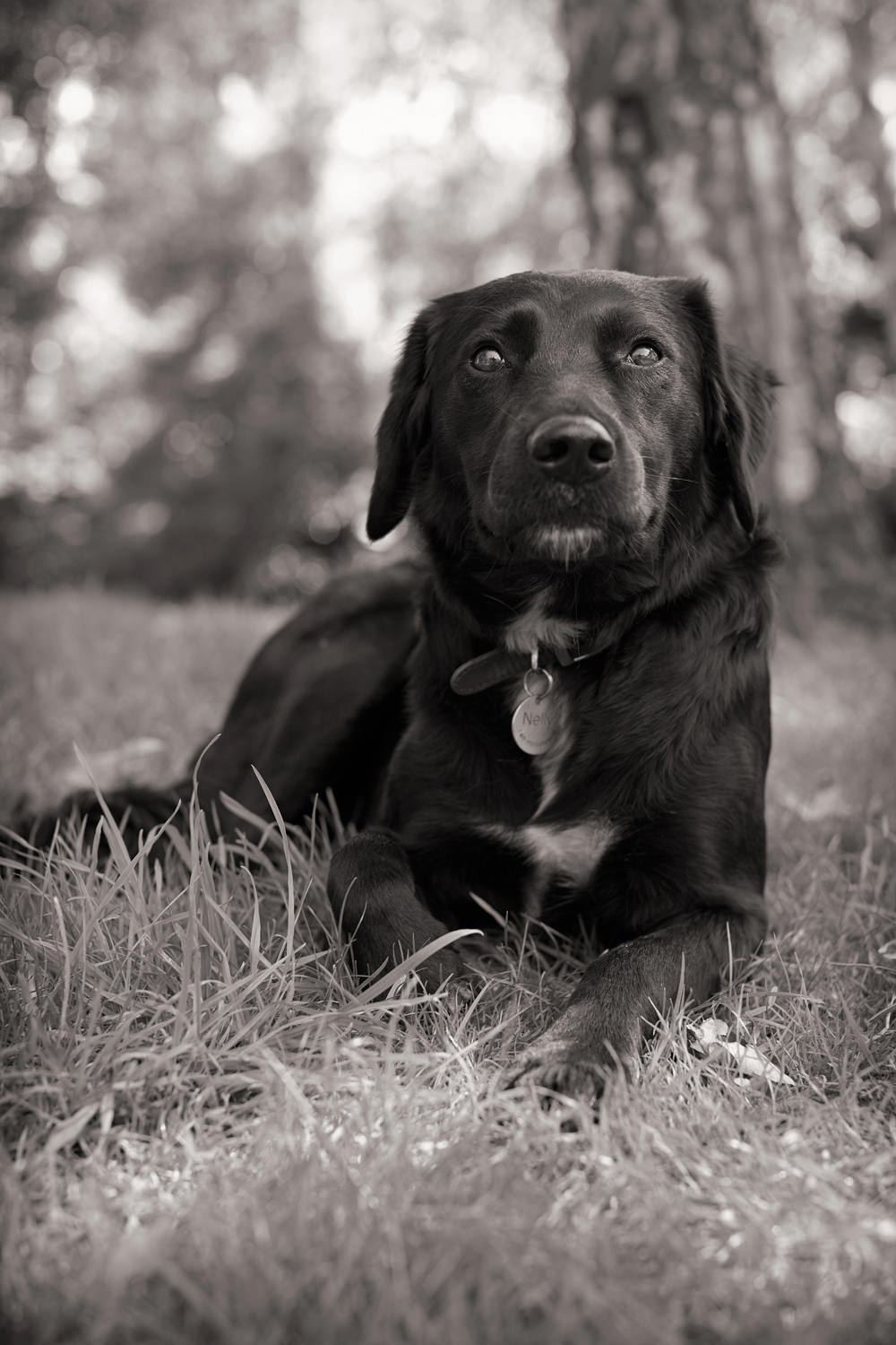 NELLY  -  Labrador Retriever, Marylebone