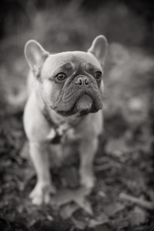 IKE  -  French Bulldog, London
