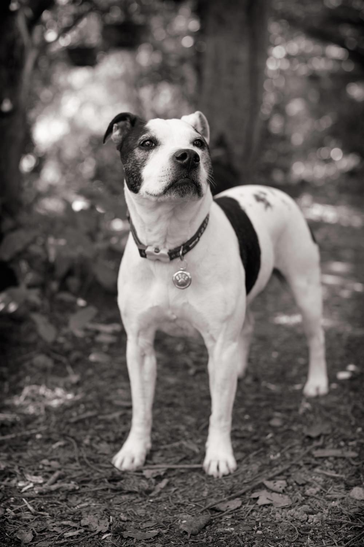 DAISY  -  Staffordshire Bull Terrier, Kent