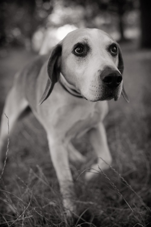 HOTSHOT  -  Beagle, Regent's Park