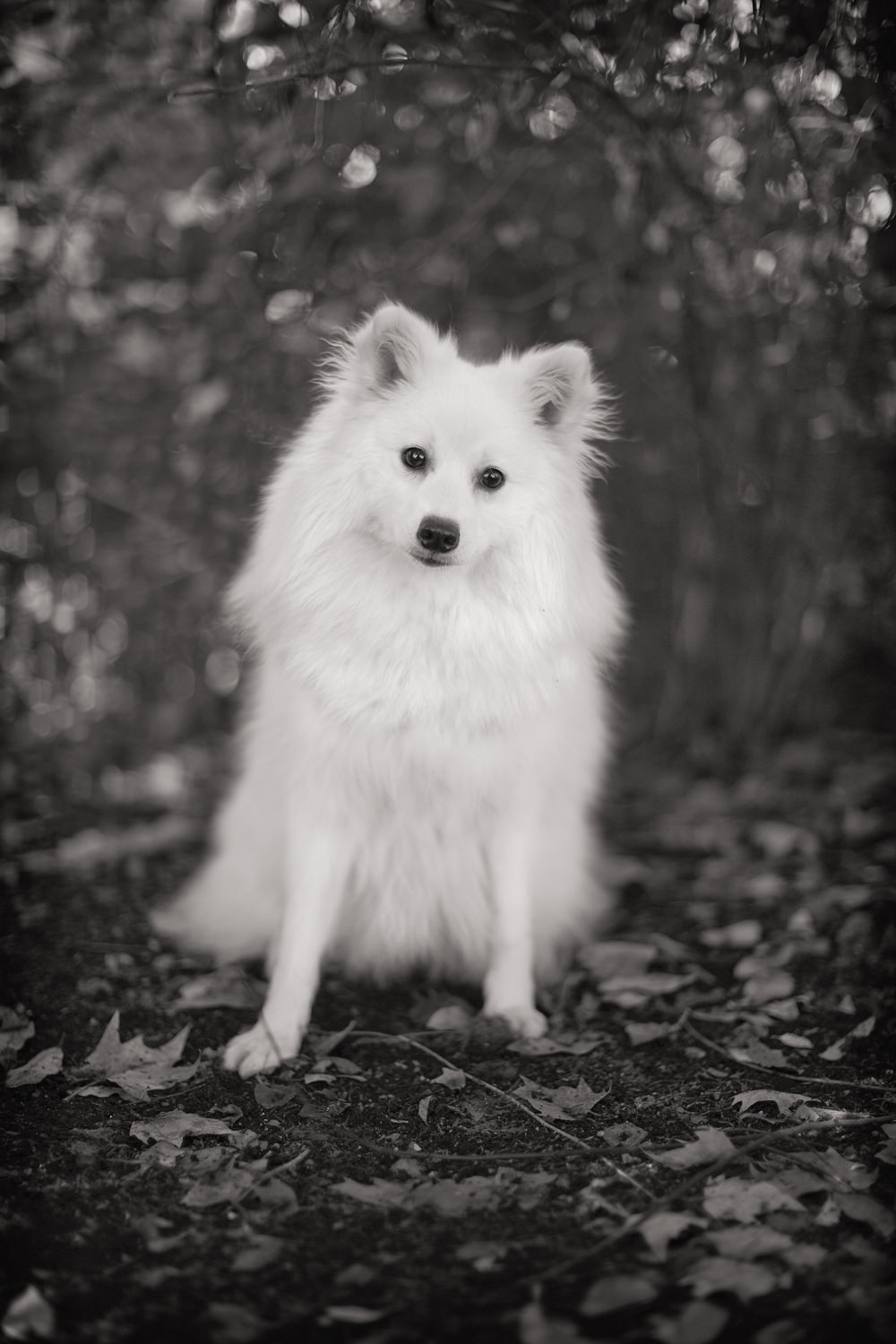 DASH  -  Japanese Spitz, St.James Park
