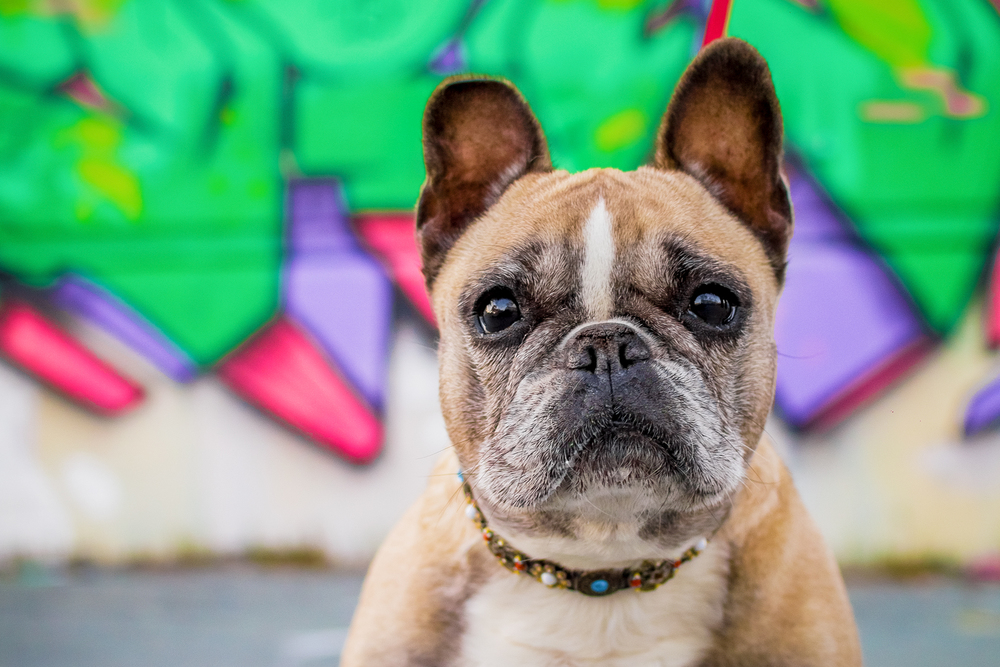 French_bulldog_graffiti.jpg