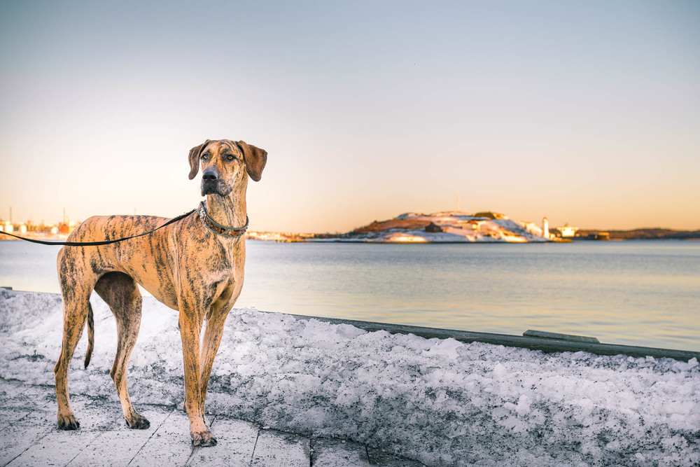 great_dane_pet_photography_Halifax.jpg