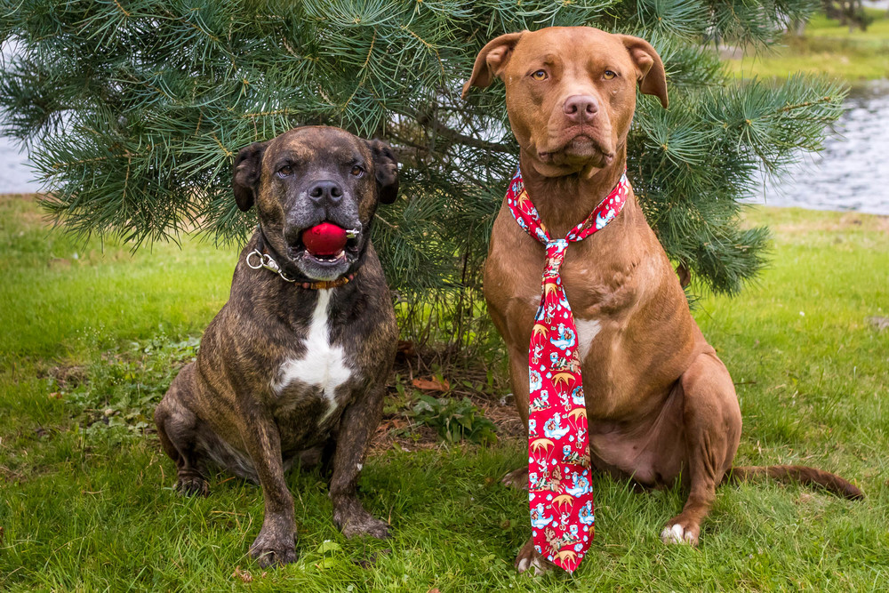 Diesel and Buddy, posing for Christmas photos.