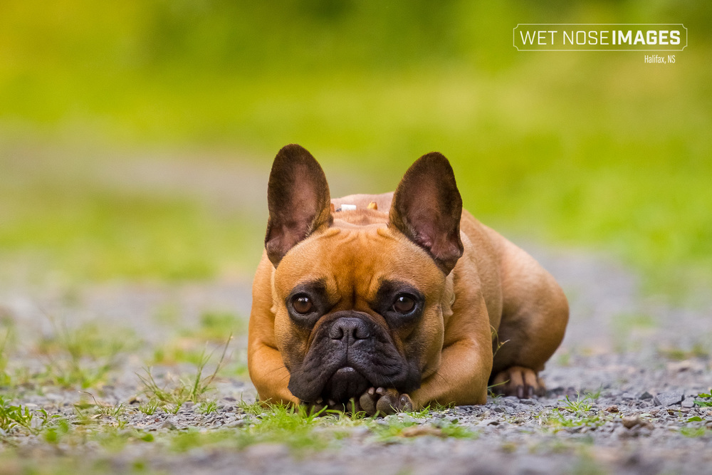 frenchbulldog_halifax_dog_photography.jpg