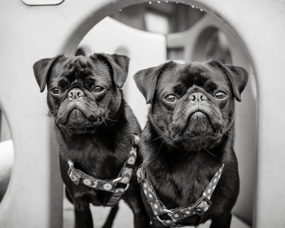 Norbert and Gilbert - two of my new Ambassadogs!