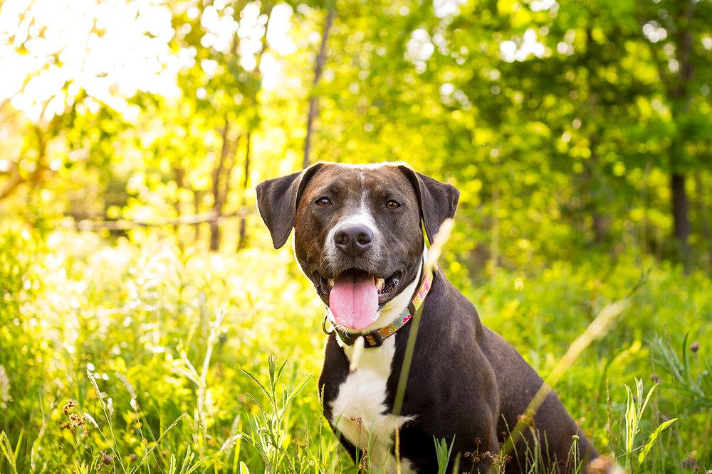 pitbull_pet_photography_halifax.jpg